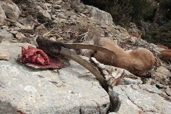 درگیری محیط بانان فیروزکوه با شکارچیان غیرمجاز، 4 شکارچی گریختند
